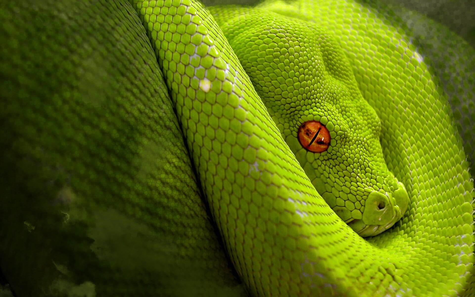 Green-Python-Dangerous-Eyes-Wallpapers